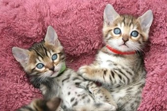 Sphynx and Bengal  kittens available for adoption,goa,Pets,Other Pets,77traders